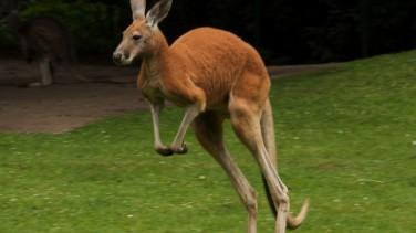 Rüyada Kanguru Görmek