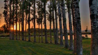 Rüyada Kavak Ağacı Görmek