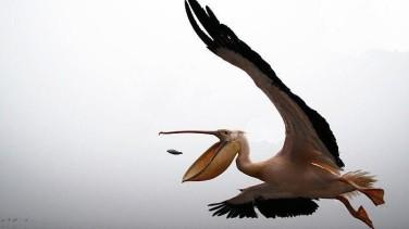 Rüyada Pelikan Görmek