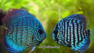 Adım Adım Discus Balığı Akvaryumda Nasıl Yetiştirilir ?