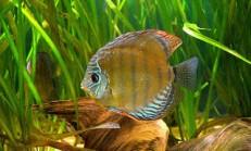 Adım Adım Discus Balığı Cinsiyet Ayrımı Resimli
