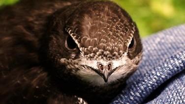 Rüyada Ebabil Kuşu Görmek