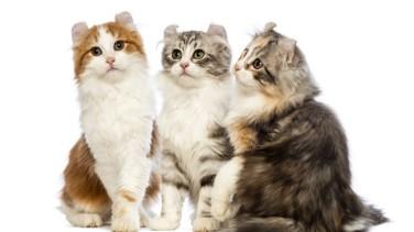 American Curl Kedisi Özellikleri ve Bakımı