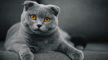 British Shorthair Kedisi Özellikleri ve Bakımı