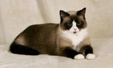 Karayak Kedisi Özellikleri ve Bakımı
