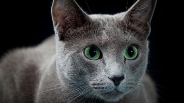 Mavi Rus Kedisi Özellikleri ve Bakımı