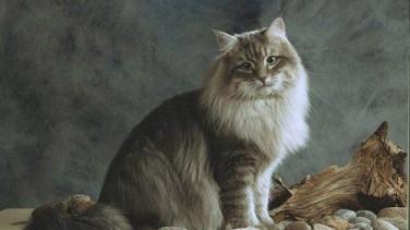 Sibirya Kedisi Özellikleri ve Bakımı