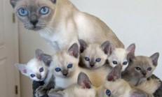 Tonkinese Kedisi Özellikleri ve Bakımı