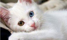 Van Kedisi Özellikleri ve Bakımı