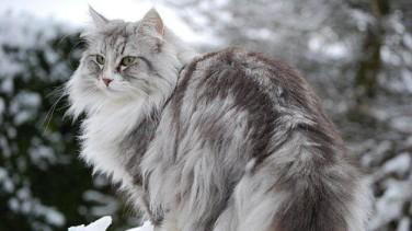 Norveç Orman Kedisi Özellikleri ve Bakımı