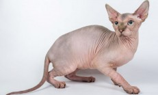 Sphynx Kedisi Özellikleri ve Bakımı