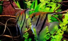 Melek Balığı Cinsiyet Ayrımı Resimli Anlatım