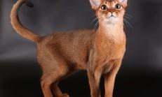 Abyssinian Kedisi Özellikleri ve Bakımı