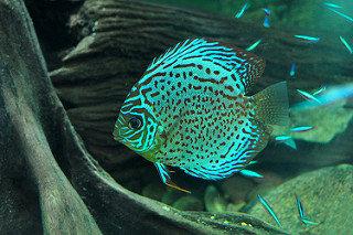 akvaryumda discus balık