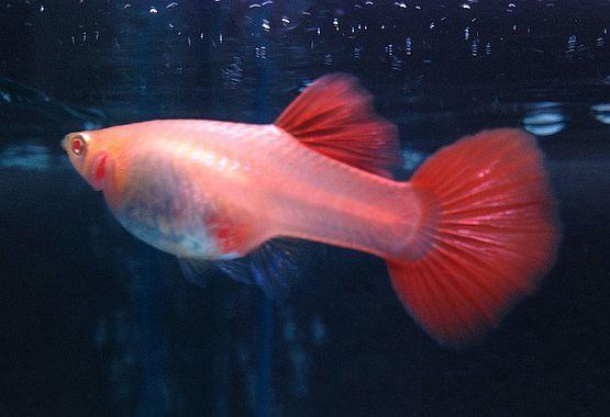 Albino Full Red Lepistes