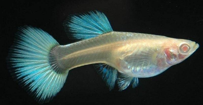 Albino Lepistes