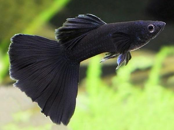 Black Lepistes (Siyah)