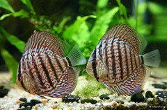 erkek dişi discus balık