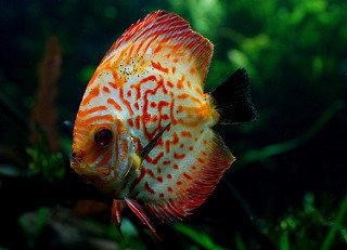 kırmızı discus balığı