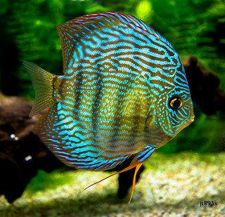 mavi discus balığı