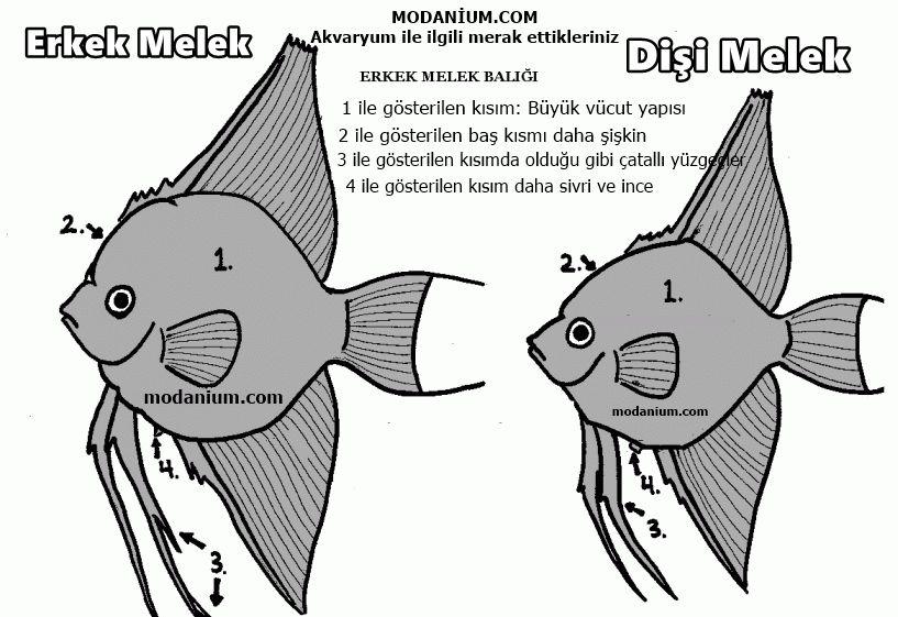 melek balığı cinsiyet ayrımı
