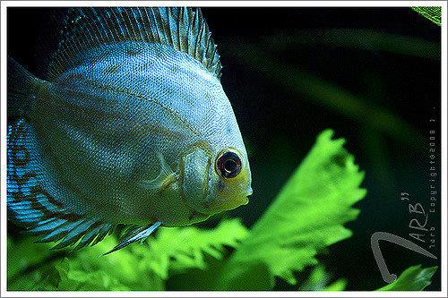 turkuaz discus balığı
